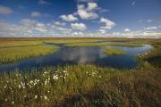 Great Outdoors Photos - Arctic Tundra & Cotton Grass Summer by Chris Arend