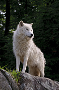 Arctic Wolf Pics Posters - Arctic Wolf on Hill Poster by Wolves Only