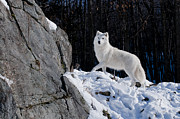 Arctic Wolf Pics Posters - Arctic Wolf on Rock Cliff Poster by Wolves Only