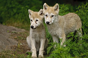 Arctic Wolf Pics Posters - Arctic Wolf Puppies Poster by Wolves Only