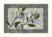 Arctostaphylos Manzanita 'monica' Print by Saxon Holt