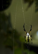 Arachnophobia Framed Prints - Argiope aurantia Framed Print by Heather Applegate