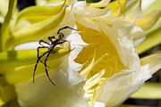 Argiope Aurantia On Night Blooming Cereus - Arachnida - Hylocereus Undatus - Panini O Kapunahou  Print by Sharon Mau