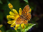 Tim Moore Metal Prints - Arnica with Butterfly Metal Print by Tim Moore