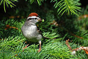 Chipping Sparrow Posters - Around The Nest Poster by Christina Rollo
