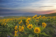JPLDesigns - Arrowleaf Balsamroot at...