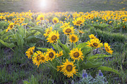 JPLDesigns - Arrowleaf Balsamroot...