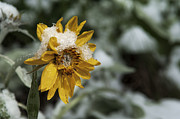 Arrow-leaf Posters - Arrowleaf Balsamroot in Snow Poster by Robert Weiman