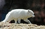 Cheryl Cencich - Artic Fox
