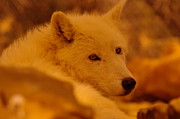 Living Things Prints - Artic Wolf  Print by Jeff  Swan