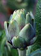 Farm Stand Framed Prints - Artichoke Framed Print by Jenny Hudson