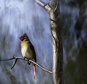 Female Northern Cardinal Posters - Artistic Female Northern Cardinal Poster by Thomas Young