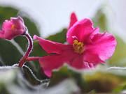 Linda  Smith - Artistic Pink Violet