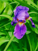 Color Purple Framed Prints - Artistic Purple Iris Framed Print by Linda Phelps