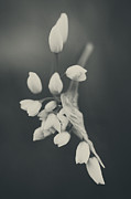 White Flowers Prints - As I Emerge Print by Laurie Search