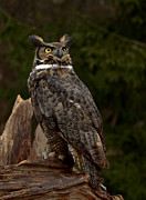 Shelley Myke Framed Prints - As Nighttime Falls Great Horned Owl Looking to the Sky Framed Print by Inspired Nature Photography By Shelley Myke
