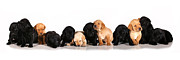 Lab Puppy Posters - Ash Trail Pups Poster by Pam Gabriel