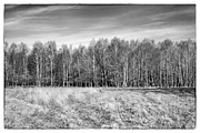 Nature Study Digital Art Prints - Ashdown Forest Trees in a Row Print by Natalie Kinnear