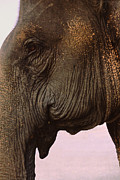 Sienna Photo Framed Prints - Asian Elephant in Thailand Framed Print by Anna Lisa Yoder