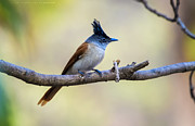 Virag Yelegaonkar - Asian Paradise Flycatcher