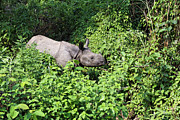Rhinoceros Posters - Asian Rhino in Chitwan National Park Nepal Poster by Robert Preston
