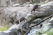 Asian Small Clawed Otter - National Zoo - 01133 Print by DC Photographer