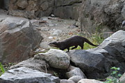 Otter Photos - Asian Small Clawed Otter - National Zoo - 01134 by DC Photographer