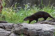 Otter Prints - Asian Small Clawed Otter - National Zoo - 01135 Print by DC Photographer