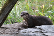 Small Photo Framed Prints - Asian Small Clawed Otter - National Zoo - 01137 Framed Print by DC Photographer