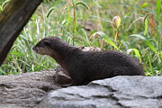 Otter Prints - Asian Small Clawed Otter - National Zoo - 01138 Print by DC Photographer