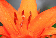 Asiatic Posters - Asiatic Lily in Orange and Pastels Poster by Suzanne Gaff