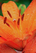 Asiatic Posters - Asiatic Lily in Orange II Poster by Suzanne Gaff