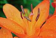 Asiatic Posters - Asiatic Lily in Orange Poster by Suzanne Gaff