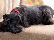 Miniature Schnauzer Digital Art - Asleep by Marilyn Giannuzzi