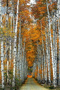 Country Dirt Roads Prints - Aspen Alley 3 Print by Ron Latimer