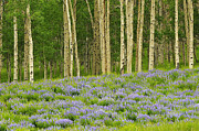Butte Prints - Aspen and Lupine Print by Joseph Rossbach