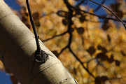 Nature Study Photos - Aspen Canopy by Mike Flynn