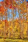 Autumn Prints Prints - Aspen Fall Foliage Portrait Red Gold and Yellow  Print by James Bo Insogna