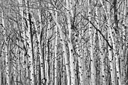 James BO  Insogna - Aspen Forest Tree Trunk Bark