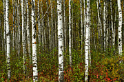 Bill Morgenstern - Aspen Forest - Where