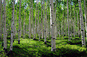 Tree Trunks Metal Prints - Aspen Glen Metal Print by The Forests Edge Photography - Diane Sandoval