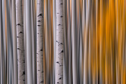 Juans Framed Prints - Aspen Gold Abstract Framed Print by Mike Berenson