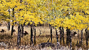 Elk Photos - Aspen Grove Afternoon by Catherine Fenner