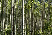 Aspen Grove Along Independence Pass II 2009 Print by Jacqueline Russell
