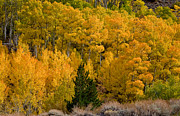 Yellow Leaves Prints - Aspen Grove Print by Cat Connor