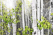 Timber Photo Posters - Aspen grove Poster by Elena Elisseeva