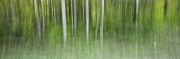 Panoramic Prints - Aspen Grove  Print by Priska Wettstein