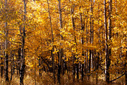 William Havle Art - Aspen Grove Tahoe City by William Havle