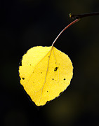 Single Color Framed Prints - Aspen Leaf  in Fall Framed Print by Gary Langley