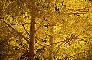 Yellow Leaves Posters - Aspen Leaves textured Poster by Sharon  Talson
